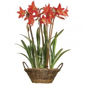 Multiflowering Amaryllis in basket + FREE Diary, £15.99