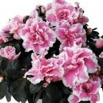Azalea 1 Plant + FREE Diary, £11.99