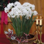 Paperwhite Daffodils 7 bulbs in a rustic Basket + FREE Diary, £13.99