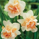 Daffodil Replete 10 Bulbs, £9.99