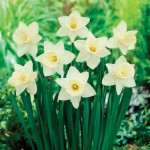 Daffodil Mount Hood 15 Bulbs, £8.99