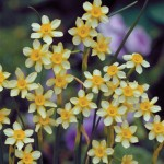 Daffodil New Baby 30 Bulbs, £9.99
