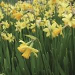 Daffodil Tete a tete 50 Bulbs, £9.99