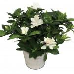 Gardenia 1 Plant + Free Diary, £12.99