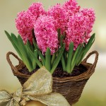Scented Indoor Hyacinth 7 Bulbs + FREE Diary, £13.99