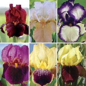 Bearded Iris (Iris Germanica) Collection of 6 Rhizomes, £12.99