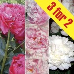 Peonies Collection 3 Plants. £15.98