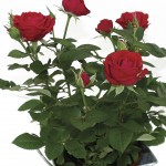 Red Rose 1 Plant +FREE Diary, £10.99