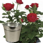 Red Rose 1 Plant with Planter + FREE Diary, £12.99