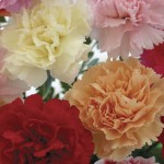 Mixed Carnations 12 Stems + FREE Diary, £9.99