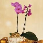 Moth Orchid Phalaenopsis 1 Plant + FREE Diary, £16.99