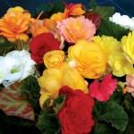 Begonia Destiny 100 Plants + 60 FREE, £10.99