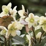 Hellebore (Christmas Rose) 1 Plant, £8.99