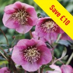 Hellebore Pink Lady 3 Plants 9cm Pot, £16.97
