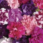 Petunia Bolero 100 Plants + 60 FREE, £9.99