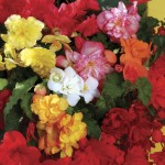 Begonia Sparkle (Trailing) 100 Plants + 60 FRE, £11.99