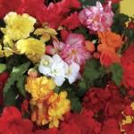 Begonia Sparkle (Trailing) 100 Plants + 60 FRE, £11.99