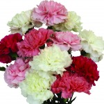 Pink and White Carnations 12 stems, £9.99