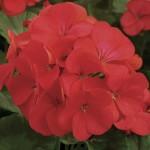 Geranium Fire Queen 100 Plants + 60 FREE, £9.99