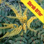 Shrub Offer – Mahonia Media Winter Sun 1 Plant 3 Litre