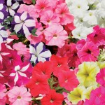 Petunia Grand Prix (Trailing) 100 Plants + 60 FREE, £11.99