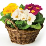 Mixed Primroses 3 Plants in Rustic Basket, £11.99