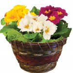 Mixed Primroses 3 Plants in an Ornate Basket, £13.99