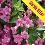 Shrub Offer – Weigela Florida Rumba 1 Plant 3 litre