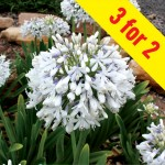 Agapanthus Queen Mum 3 Plants, £15.98