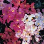 Begonia Charm 50 Plants + 20 Free, Only £10.99