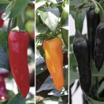 Chilli Peppers 6 Jumbo Ready Plants, Only £6.99