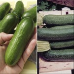 Cucumber & Courgette 6 Plants, Only £6.99