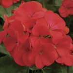 Geranium Fire Queen 50 Plants + 20 Free, Only £9.99