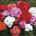 Geranium Parade 50 Plants + 20 Free, Only £9.99