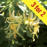 Honeysuckle Halls Prolific (lonicera) 3 Plants, £15.98