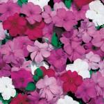 Impatiens Blue Symphony 50 Plants + 20 Free, Only £10.99