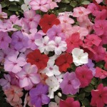 Impatiens Jigsaw 50 Plants + 20 Free, Only £9.99