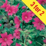 Lavatera Burgundy Wine 3 Plants, £11.98