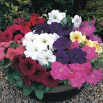 Petunia Passionata 50 Plants + 20 Free Only, £10.99