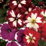 Petunia Lake Garda 50 Plants + 20 Free, Only £10.99