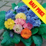 Primrose Two Tu, Was £12.99 NOW ONLY £6.50