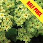 Primrose Green Lace, Was £15.99 NOW ONLY £7.99!
