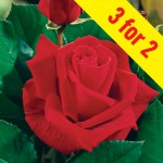Ena Harkness Hybrid Tea Rose 3 Plants, £11.99