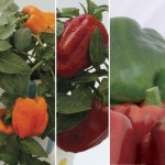 6 Sweet Peppers, Only £6.99