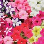 Petunia Grand Prix (Trailing) 100 Plants + 60 FREE, £12.99