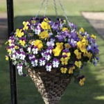 Pansy Cascadia (Trailing) 50 Plants + 20 FREE, £13.99