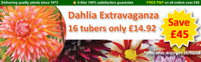 Dahlia Extravaganza Collection only £14.92 for 16 tubers - save £45
