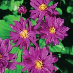 Japanese Anemone Honorine Jobert 1 Plant 9cm Pot, just £8.99