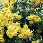Climbing Rose Golden Climber 1 Plant 3 Litre, only £12.99