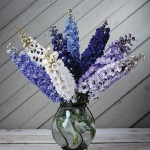 Delphinium Magic Fountain 1 Plant 9cm Pot, just £6.67!